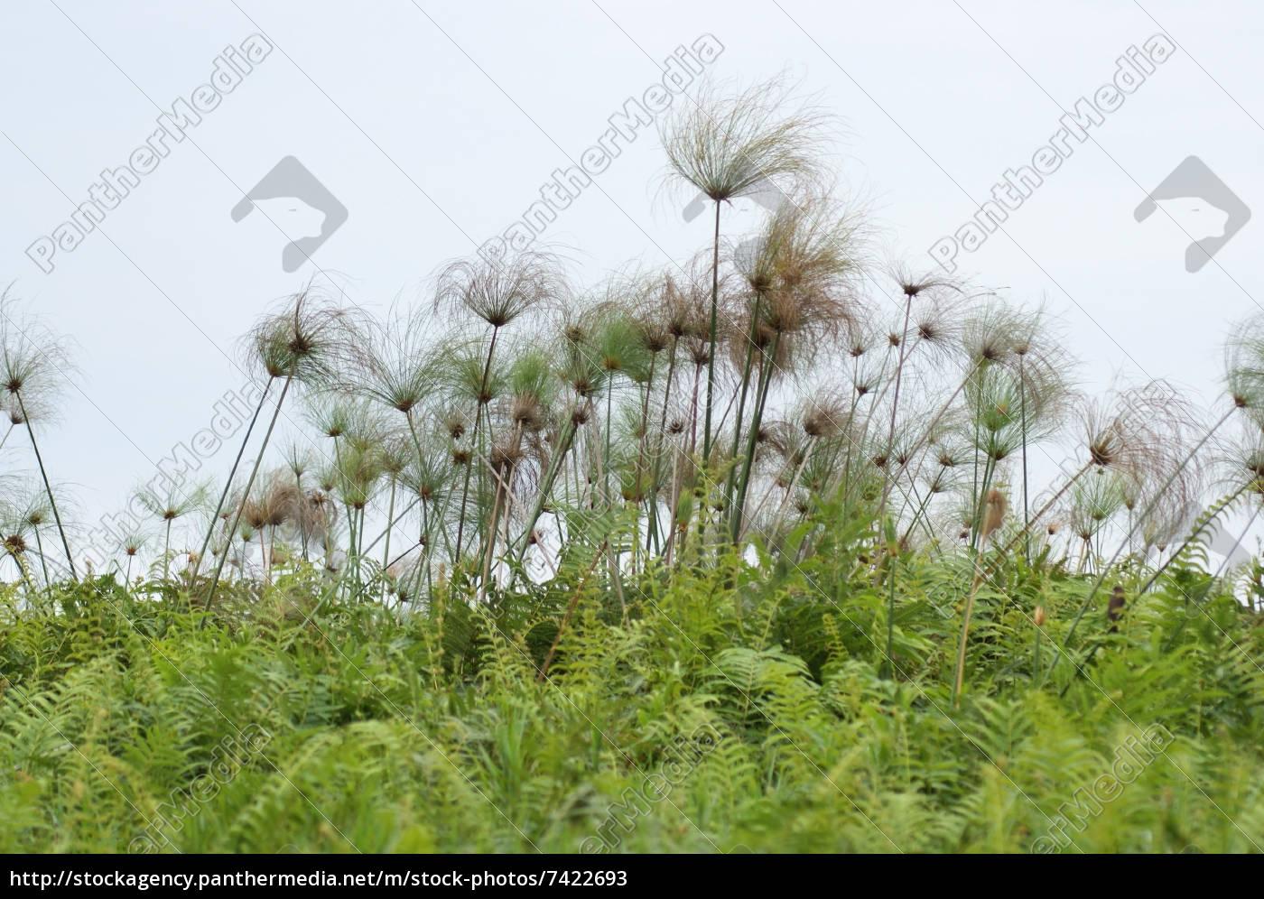 papyrus, plants, near, lake, victoria - 7422693