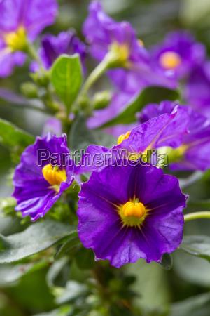 flowering of gentian tree solanum rantonetii