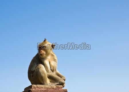 makaken affe