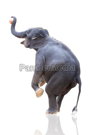 elefanten werfen ball