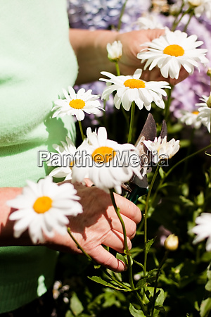 hands of a senior cuts daisies