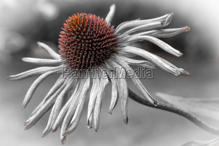 coneflower echinacea flowering split tone