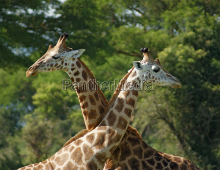 some giraffes in africa