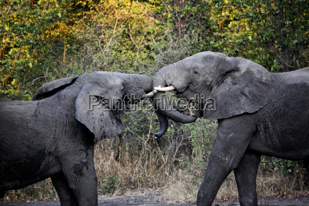 elephants fight