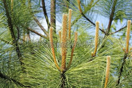 natural pine tree candles