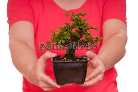 kleine ulme als bonsai baum wird
