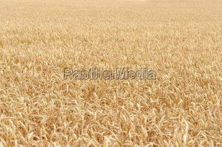 ripe grain field detail