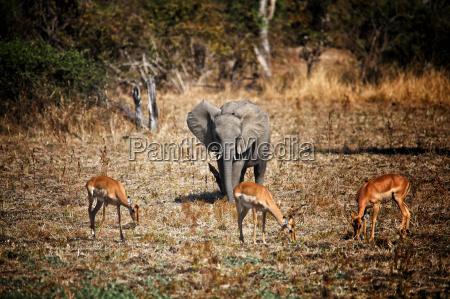 elephant and impala