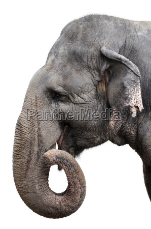 elefant portraet