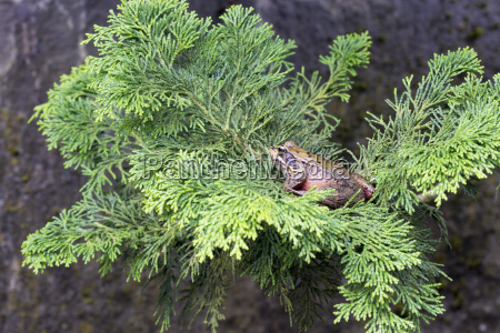 pacific tree frog on tree branch