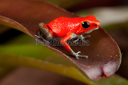 roter frosch