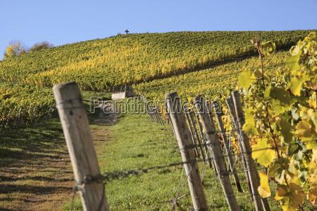 rhine vineyard common grape vines vine