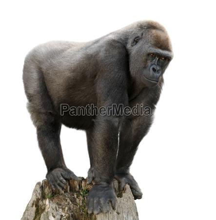 gorilla auf ausguck freisteller