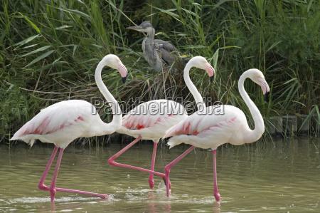 three flamingos walking in a lake