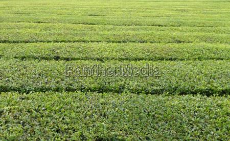tea plantation detail