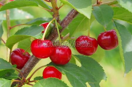 sauerkirsche sour cherry 09