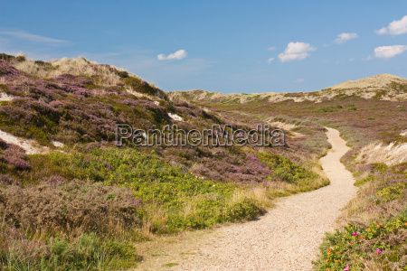way through dune landscape with blooming