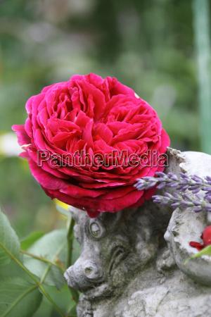 rote englische rose mit drache