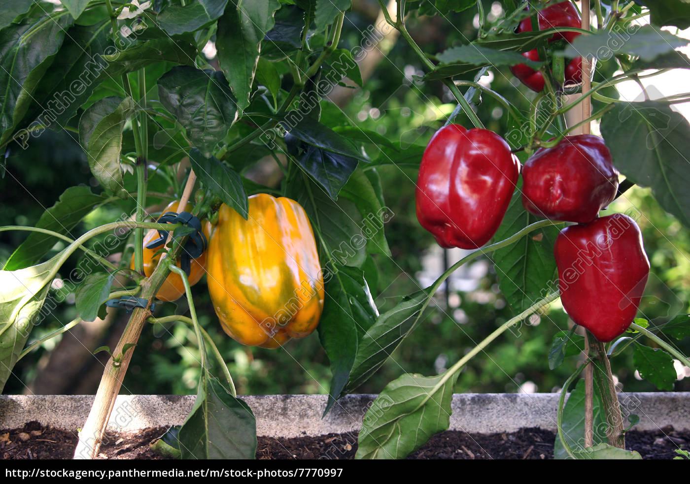 paprikapflanzen - 7770997