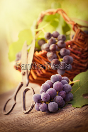 freshly harvested grapes