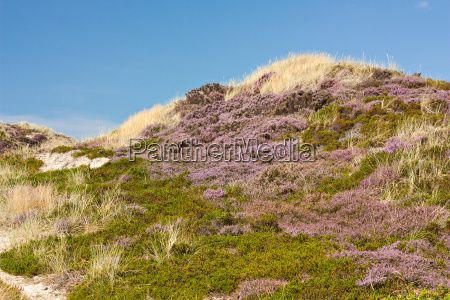 dunes with flowering broom heath and