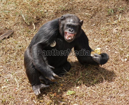 chimpanzee baring teeth