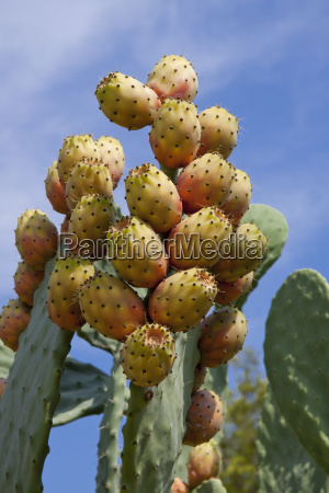fresh tasty prickly pears on cactus