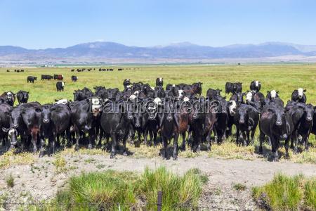 landwirtschaft ackerbau usa amerika kuh kuehe