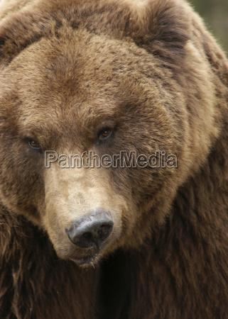 grimly brown bear
