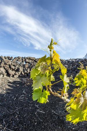vineyard in lanzarote island growing