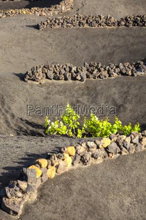 a vineyard in lanzarote island growing