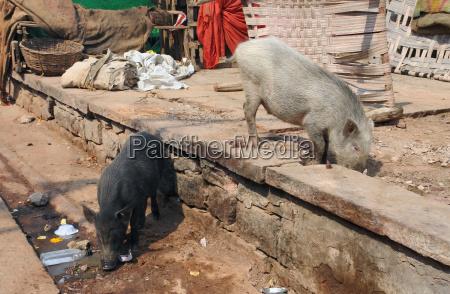 pigs in india