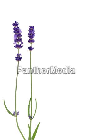 lavendel lavendelbluete pflanze natur blume heilpflanze