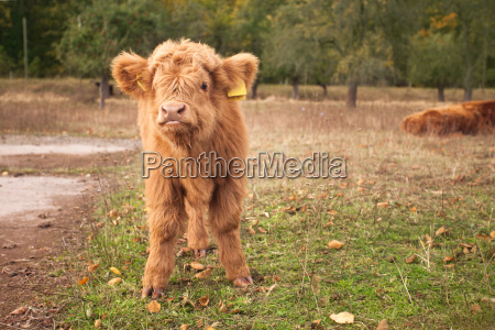 young scottish highland cattle