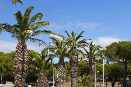 palmen in gruissan palm trees