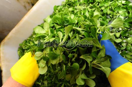vogerlsalat feldsalat salat salate blattgemuse gemuse
