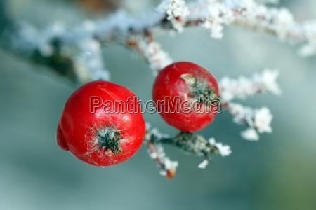 red rowan tree beeren mit frost