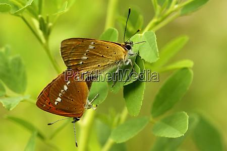 dukatenfalter lycaena virgaureae maennlich weiblich