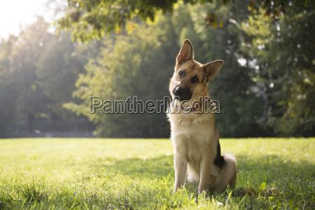 junge pure elsaessischen hund im park