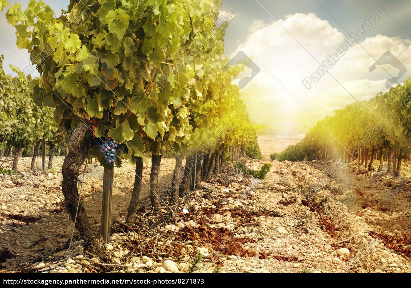 Weinberge Bei Sonnenuntergang Im Herbst Ernten Stockfoto