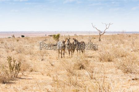 zebras die zur kamera