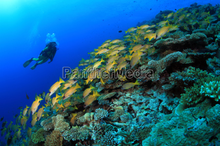 coral reef with diver