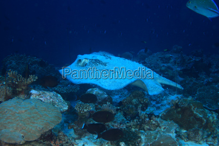 porcupine ray