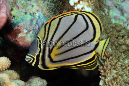 black stripe butterflyfish