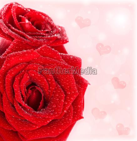 schoene grenze der roten rosen mit