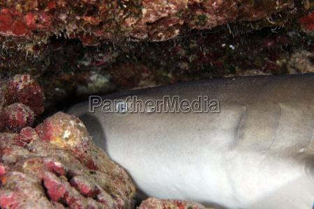 indo pacific nurse shark