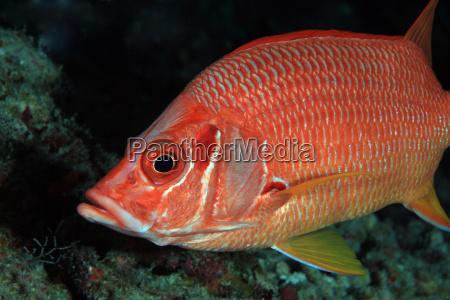 hussars fish