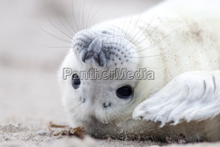 baby seal with white fur