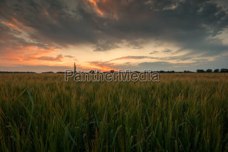 field in the sunset