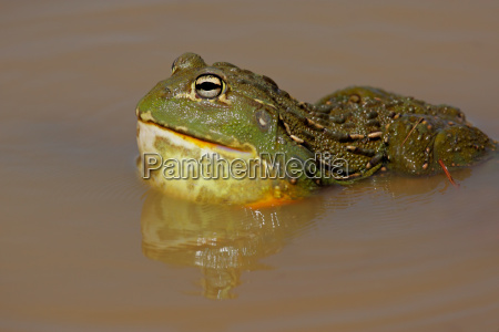 tier amphibie afrika maennlich mannhaft maskulin
